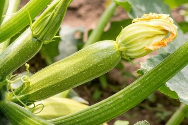 Кабачки подзимнего посева