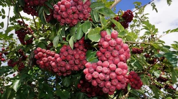 Рябина Гранатная – гибрид рябины обыкновенной и боярышника крупноплодного