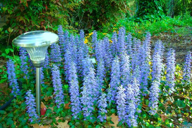 Многолетний садовый цветок Аюга (Ajuga)