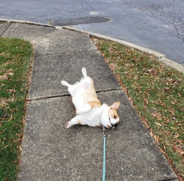 14. Это Финник. Он завершил свою прогулку. Нигде ведь не было указано, что нужно вернуться в дом. 14/10, и очень просим помочь с транспортировкой животные, оценка, популярный, собака, собаки, соцсети, твиттер, юмор