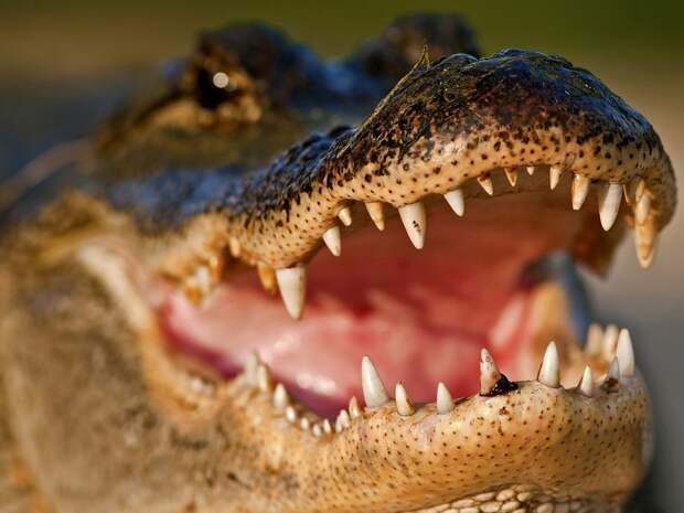 Ах ты ж!.. Крокодил!