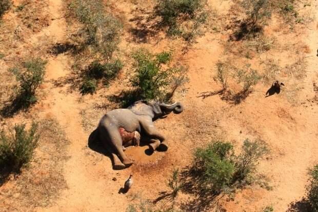 Кошмар вБотсване: погибли более 350 слонов