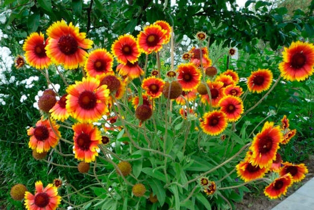 Многолетний садовый цветок Гайлардия (Gaillardia)