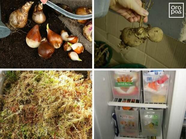 Хранение луковиц в холодильнике