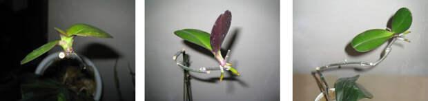 Размножение фаленопсисов