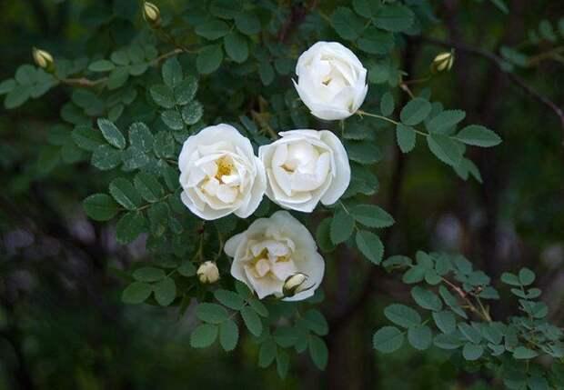 Роза морщинистая Альба