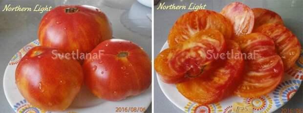 сорт Northern lights