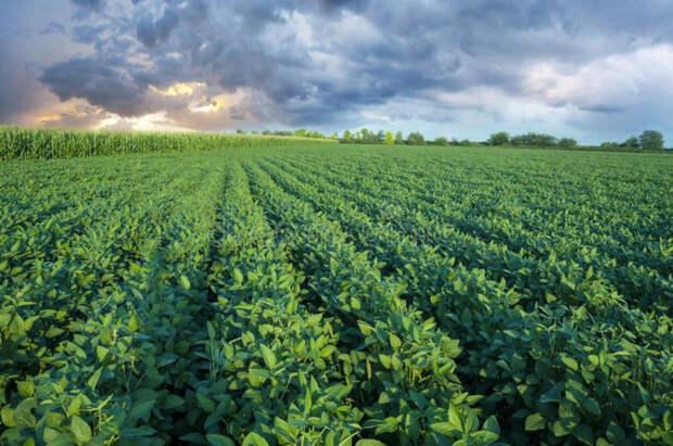 Кубанские аграрии собрали 90% сои