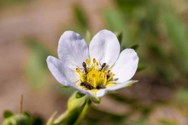 Муравейник в клубнике – как избавиться во время цветения и плодоношения
