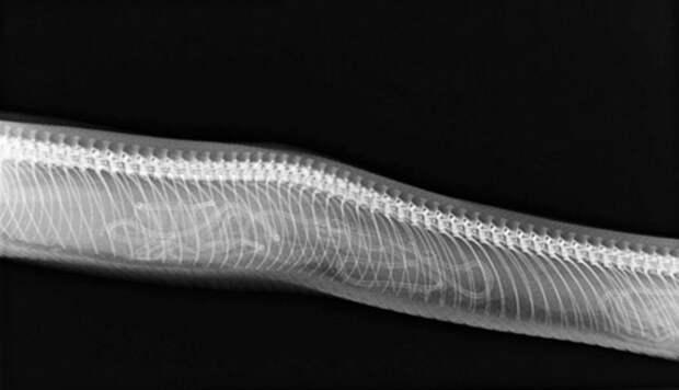 Змея беременность, беременность животных, детеныши животных, животные, рентген, рентген животных, рентгеновские снимки, рентгеновский снимок