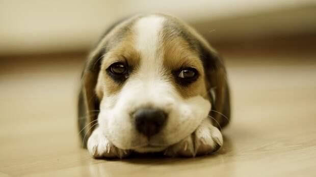 И этот щенок, который понятия не имеет о том, что он — самая милая собака даже когда просто пытается устроится поуютнее домашний питомец, животные, милота, мимими, собака