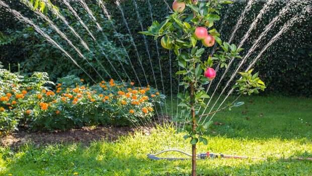 Полив яблони - дождевание