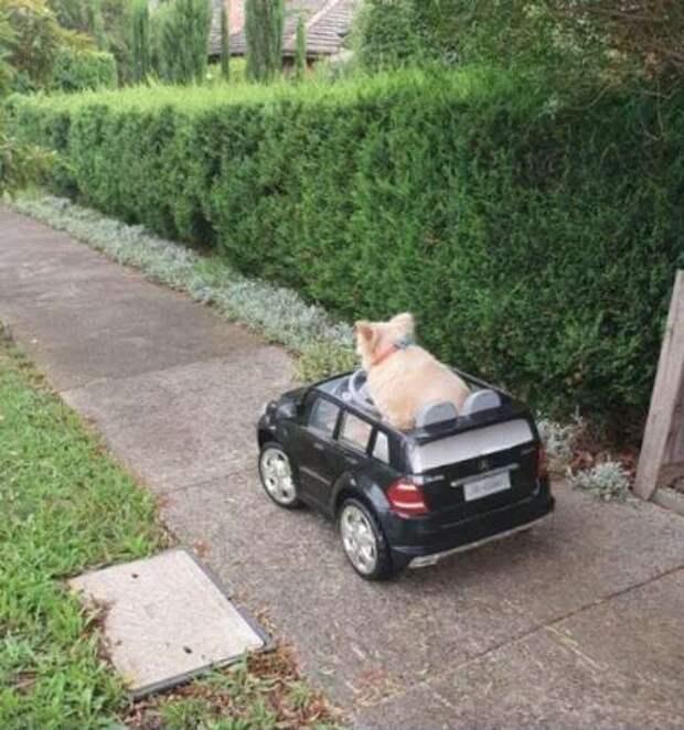 пёс на машине