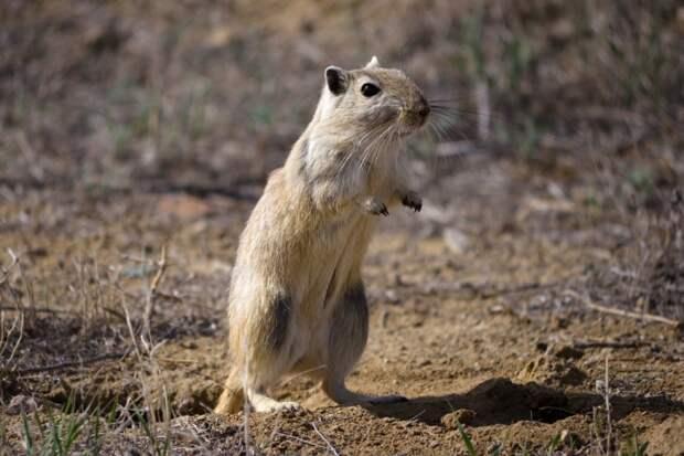 ТЕРЕМОК. Уже не мышь, но еще не хомяк - песчанка