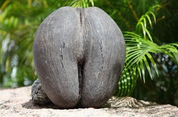 Коко-де-мер: пикантная пальма, которая вгоняет в краску