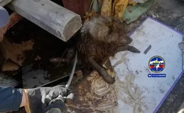 Спасатели вытащили пса из ямы туалета в Новосибирске