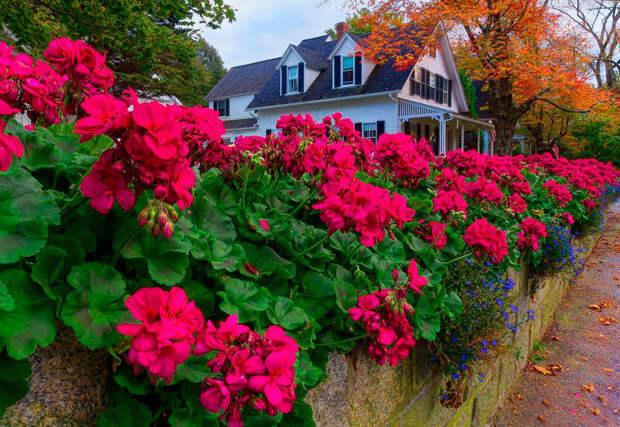 Многолетний садовый цветок Герань (Geranium)