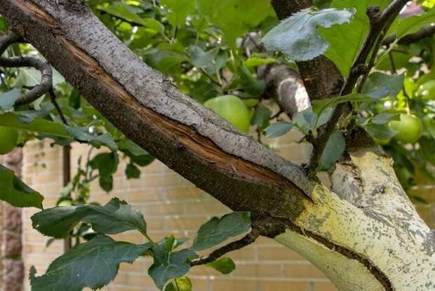 Морозобоины: дерево требует срочной помощи