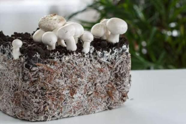 Как посадить лесные грибы у себя на грядке, чтобы они хорошо прижились