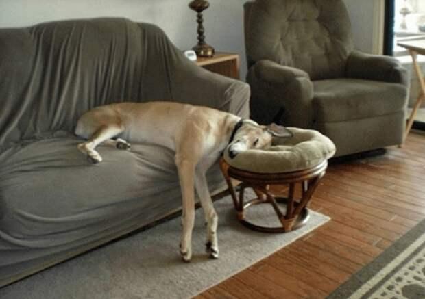 Как хочу, так и сплю: 20 собак, которые спят в самых забавных позах животные, мило, питомцы, подборка, смешное, собаки, сон, фото