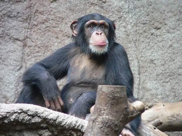 Зоопарк запретил посетительнице навещать шимпанзе, с которым у нее «роман»