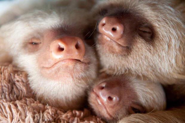 Детский дом для малышей ленивцев, оставшихся без мам