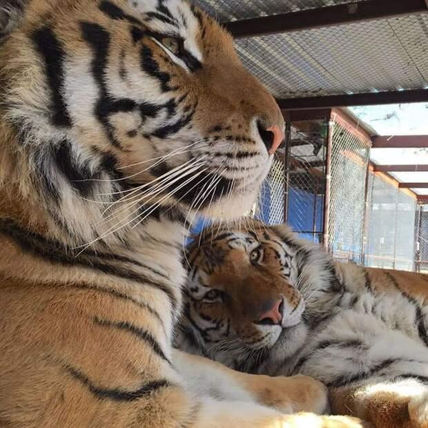 Невероятное преображение умирающей 9 месячной тигрицы, спасенной из бродячего цирка