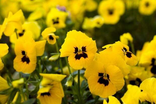 анютины глазки желтые