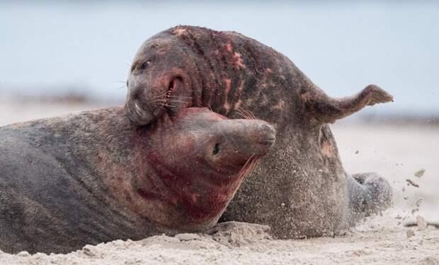 Серые тюлени