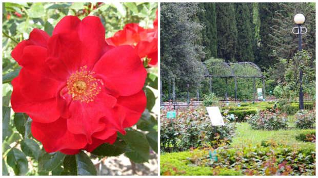 Роза Кордеса сорт Гуцулочка, опоры для таких роз, фото автора
