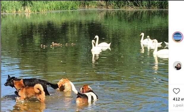 Фото дня: непрошенные гости лебединого озера