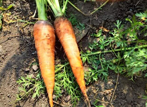 Морковь, фото автора