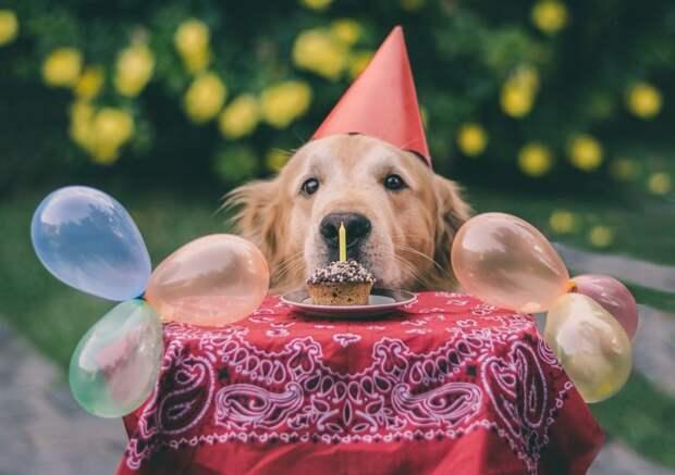 Этот золотистый ретривер, которые не знает, что эта шапочка в честь дня рождения делает его самым милым существом на планете домашний питомец, животные, милота, мимими, собака