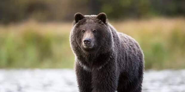 СК начал проверку после инцидента с медведем