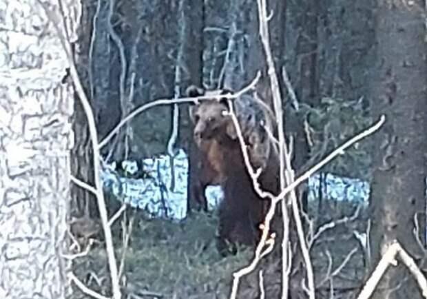 По окрестностям Костомукши разгуливает медведь