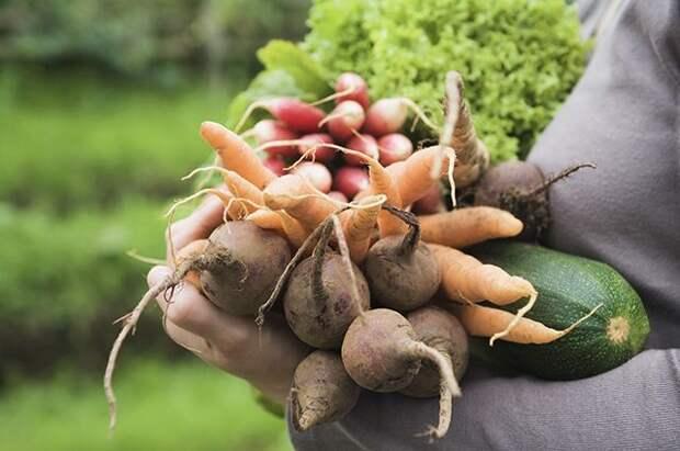 Продлим плодоношение. Что сделать, чтобы урожай шёл до конца сезона?
