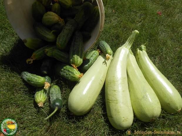 Парилка для кабачков - обеспечит рекордный урожай