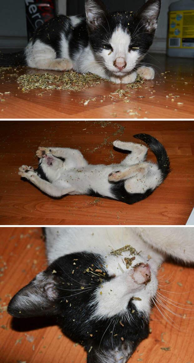 Пьянству - бой! Энд герл... животные, забавно, изменение сознания, кошачья мята, кошки, растения, смешно, фото
