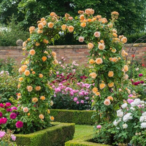 Абрикосовые розы сорта Crown Princess Margareta