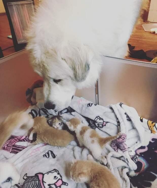 Заботливый пес стал приемным папой для спасенного кошачьего семейства дружба животных, история, котята, кошки, мило, собаки, трогательно