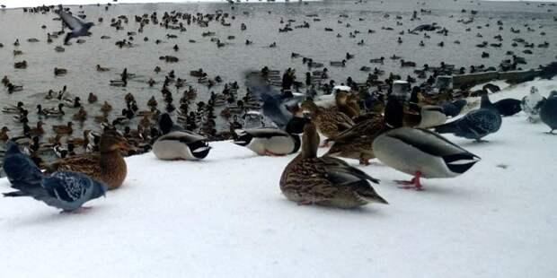 В Куркине на помощь зимующим уткам пришли жители