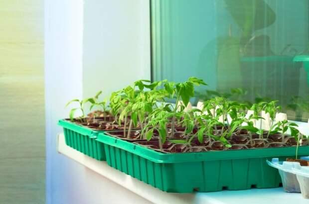 Как вырастить рассаду томатов на балконе