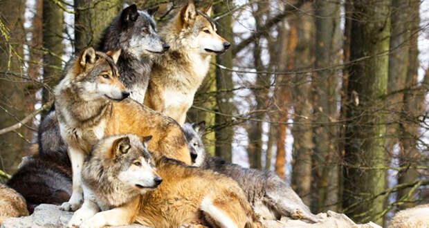 Стая волков спасла беременную женщину и помогла появиться на свет ее сыну