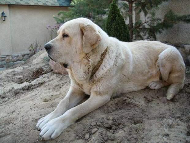 Испанский мастиф больших, бульдог, до маленьких, питомец, породы, собак, такса
