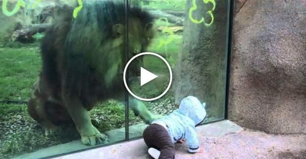 Лев в зоопарке играет с малышом