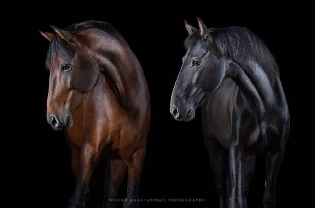 Базилио и Оветенс животные, искусство, лошади, фотография