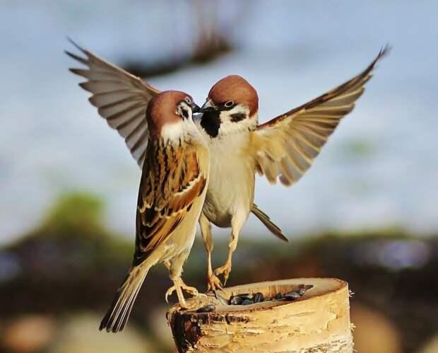 5. Воробьям свойственно проявление моногамии — эти птички нередко образуют постоянные пары, и живут вместе всю жизнь. воробей, воробьи, животные, интересно знать, факты