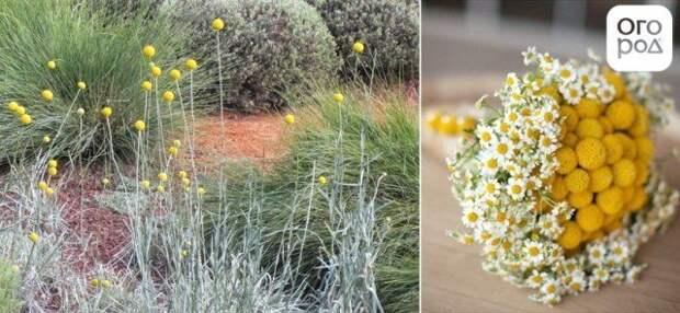 желтые шарики на клумбе сад в желтых тонах