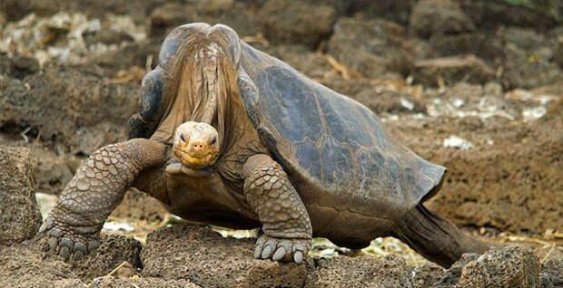 Галапагосская черепаха Одинокий Джордж в мире, животные