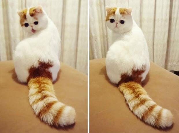 Снуппи относится к породе экзотическая короткошерстная кошка, окрас - красный табби ван.